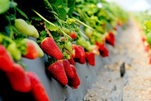 farm_strawberries