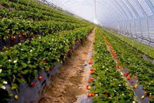 farm_strawberries2